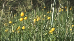 Globeflower. Stock Footage