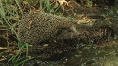 Hedgehog crossing the river Stock Footage