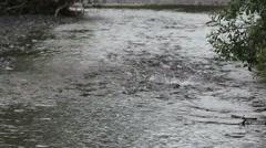 Salmon Swim Rainy Day Stock Footage