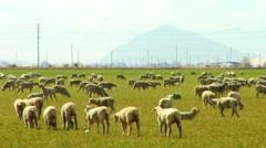 Herd of Sheep Grazing In Green Field 1 Stock Footage