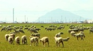 Stock Video Footage of Herd of Sheep Grazing In Green Field 1