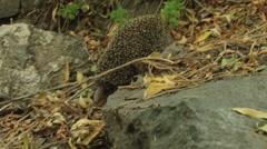 Hedgehog Climbing into the rock Stock Footage
