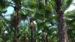 Palm trees sway in a palm grove forest. Stock Footage