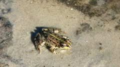 Spotty Frog Stock Footage