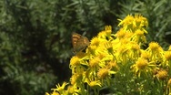 Butterfly sitting on the top of a yellow bush Stock Footage