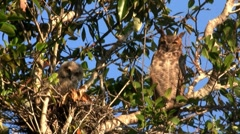 A great horned owl peers down from a tree in the forest. - stock footage