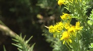 Buuterfly flies away from yellow bush Stock Footage