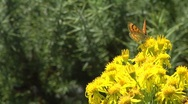 Butterfly on a yellow bush Stock Footage