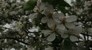 Stock Video Footage of Spring Blossom 01814