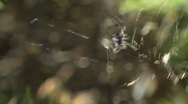 Spider climbing up web Stock Footage