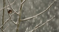 Snow Falling Among Branches 004187 Stock Footage