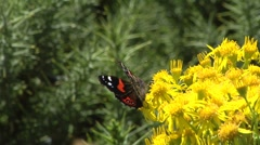Two butterflies on a yellow gorse bush - stock footage