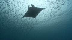 Looping Manta Ray and fish - stock footage
