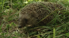 Hedgehog in the woods Stock Footage