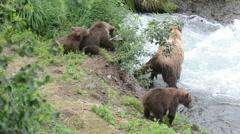Alaskan brown bear with cubs at Brooks Falls - stock footage