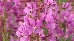 Fireweed wildflowers Stock Footage
