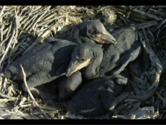 Chick of cormorant in a nest. close up Stock Footage