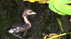 A pie billed grebe floats on a lake. Stock Footage