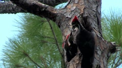 A pileated woodpecker on a tree. Stock Footage
