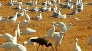 Seabirds, Waterfowl Resting In Farm Field 3 Stock Footage