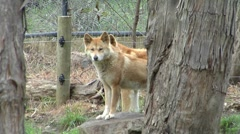 Dingos looking out over a field Stock Footage