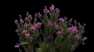 Stock Video Footage of syringa 01