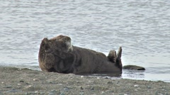 Sea Otter on Shore Scrunching Head Fur Stock Footage