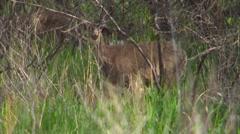 Deer in trees Stock Footage