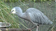 Grey bird eating grain Stock Footage