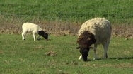Ewe and lamb eating Stock Footage
