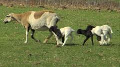 Ewe with lambs grazing 29.97 Stock Footage