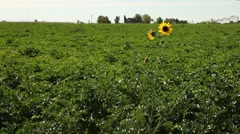 Farm Field Flower 1 29.97p Stock Footage