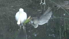Spoonbill in a pond and a second in a reflection Stock Footage