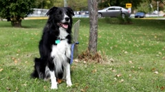Stock Video Footage of Border Collie waiting by a tree in grass