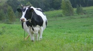 Cow Stock Footage