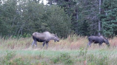 Mother and yearling moose eating grass Stock Footage