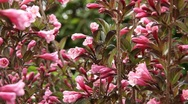 Stock Video Footage of Weigelia Flower - hd1080