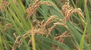 Rice Cultivation 1 Stock Footage