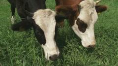 Blisterhead - Dutch blaarkop cattle grazing + on camera Stock Footage