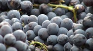 Grapes zoom out Stock Footage