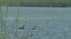 Grebes on sparkling lake Stock Footage