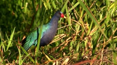 A gallinule in a swamp. Stock Footage