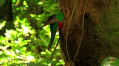 Stock Video Footage of A quetzal parrot at his nest in Costa Rica rainforest.