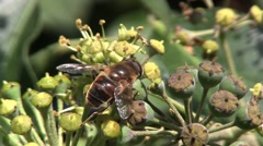 Horsefly collecting nectar from an Ivy bush Stock Footage