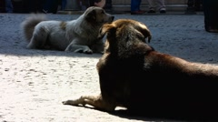 Turkey Istanbul old town Sultanahmet street dog with tag Stock Footage