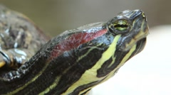 Stock Video Footage of Red Eared Slider Turtle