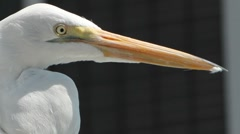 Great Egret Close Up Stock Footage