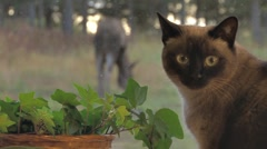 Siamese Cat Watching Moose Through Window - rack focus Stock Footage