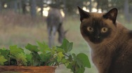 Stock Video Footage of Siamese Cat Watching Moose Through Window - rack focus
