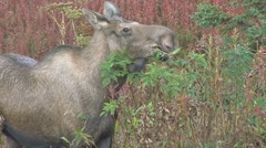 Cow Moose Eating close 1 Stock Footage